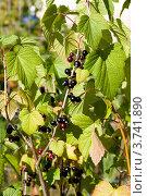 Черная смородина, фото № 3741890, снято 22 июля 2012 г. (c) Катерина Макарова / Фотобанк Лори