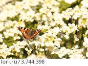 Бабочка на цветке. Стоковое фото, фотограф Елена Таранец / Фотобанк Лори