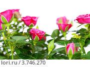 Купить «Розовые розы», фото № 3746270, снято 2 августа 2012 г. (c) Наталия Кленова / Фотобанк Лори
