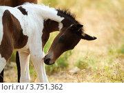 Купить «Гнедо-пегий жеребенок», фото № 3751362, снято 31 июля 2012 г. (c) Дарья Пикунова / Фотобанк Лори