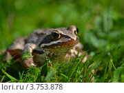 Лягушка. Стоковое фото, фотограф Кортелева Мария / Фотобанк Лори