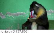 Купить «Павиан сидит перед стеной, держит еду и ест, в зоопарке», видеоролик № 3757866, снято 10 ноября 2011 г. (c) Losevsky Pavel / Фотобанк Лори