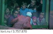 Купить «Дети смотрят на самку орангутанга с детенышем в зоопарке», видеоролик № 3757870, снято 10 ноября 2011 г. (c) Losevsky Pavel / Фотобанк Лори