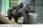 Купить «Прогулка большой самки гориллы с детенышем на спине», видеоролик № 3757874, снято 30 ноября 2011 г. (c) Losevsky Pavel / Фотобанк Лори