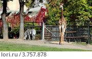 Купить «Жираф и зебры в зоопарке ходят по траве», видеоролик № 3757878, снято 10 ноября 2011 г. (c) Losevsky Pavel / Фотобанк Лори