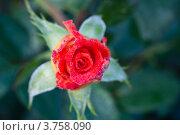 Садовая красная роза с каплями воды. Стоковое фото, фотограф Михеев Павел / Фотобанк Лори