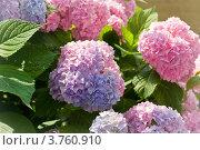 Куст розовой гортензии. Стоковое фото, фотограф LenaLeonovich / Фотобанк Лори