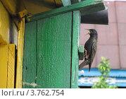 Скворец. Стоковое фото, фотограф Александр Ежов / Фотобанк Лори