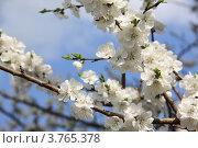 Весенний цвет абрикоса. Стоковое фото, фотограф Игорь Белов / Фотобанк Лори