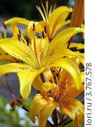 Желтая лилия. Стоковое фото, фотограф Сергей / Фотобанк Лори