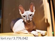 Купить «Лысая кошка (Донской сфинкс)», эксклюзивное фото № 3776042, снято 26 июня 2012 г. (c) Яна Королёва / Фотобанк Лори