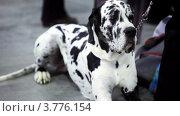 Купить «Грустный далматин лежит у ног хозяина», видеоролик № 3776154, снято 24 февраля 2012 г. (c) Losevsky Pavel / Фотобанк Лори