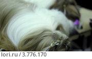 Купить «Маленькая собака породы син цзы смотреть на гребень», видеоролик № 3776170, снято 16 февраля 2012 г. (c) Losevsky Pavel / Фотобанк Лори