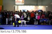 Купить «Выставка собак», видеоролик № 3776186, снято 16 февраля 2012 г. (c) Losevsky Pavel / Фотобанк Лори