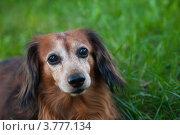 Купить «Длинношерстная такса», фото № 3777134, снято 19 августа 2012 г. (c) Иван Демьянов / Фотобанк Лори