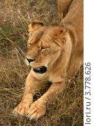 Купить «Лев лежит на траве (Panthera leo)», эксклюзивное фото № 3778626, снято 12 августа 2012 г. (c) Щеголева Ольга / Фотобанк Лори