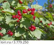 Ветка боярышника с плодами. Стоковое фото, фотограф Сергей Емельянов / Фотобанк Лори