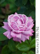 Цветок розы. Стоковое фото, фотограф Gagara / Фотобанк Лори
