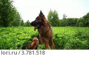 Овчарка сидят на поле в траве и смотрит вокруг. Стоковое видео, видеограф Losevsky Pavel / Фотобанк Лори