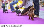 Купить «Собаки Badgerer участвуют вместе с владельцами в выставке», видеоролик № 3785134, снято 30 июля 2012 г. (c) Losevsky Pavel / Фотобанк Лори