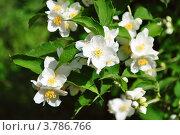 Купить «Цветки жасмина в листьях», фото № 3786766, снято 1 июня 2020 г. (c) Елена Шуршилина / Фотобанк Лори