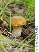 Белый гриб, Boletus edulis. Стоковое фото, фотограф Сергей Воронин / Фотобанк Лори