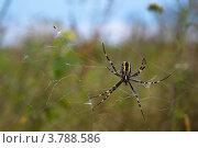 Паук в паутине. Стоковое фото, фотограф Анастасия Филиппова / Фотобанк Лори