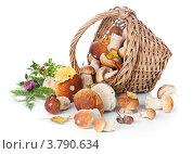 Купить «Белые грибы боровики высыпались из корзины на белом фоне», фото № 3790634, снято 28 августа 2012 г. (c) Лисовская Наталья / Фотобанк Лори