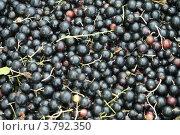 Ягоды черной смородины. Стоковое фото, фотограф Жакова Дарья / Фотобанк Лори