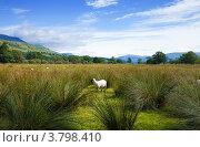 Купить «Овцы пасутся на болотистой равнине, Шотландия», фото № 3798410, снято 9 августа 2012 г. (c) Tamara Kulikova / Фотобанк Лори
