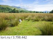 Купить «Овцы на пастбище на болотистой равнине, между Лох Тэй и слиянием рек Dochart и Lochay», фото № 3798442, снято 9 августа 2012 г. (c) Tamara Kulikova / Фотобанк Лори