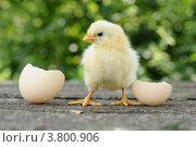 Купить «Маленький цыпленок и яичная скорлупа», фото № 3800906, снято 27 июля 2012 г. (c) Володина Ольга / Фотобанк Лори