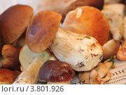 Белые грибы. Стоковое фото, фотограф Елена Таранец / Фотобанк Лори