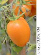 Купить «Тепличный помидор сорта Чухлома», фото № 3802734, снято 1 сентября 2012 г. (c) Окунев Александр Владимирович / Фотобанк Лори