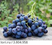 Купить «Гроздь винограда, сорт Страшенский», фото № 3804958, снято 12 августа 2012 г. (c) Короленко Елена / Фотобанк Лори