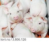 Купить «Молодые поросята», фото № 3806126, снято 30 августа 2012 г. (c) Дмитрий Калиновский / Фотобанк Лори