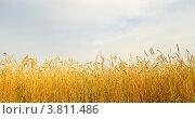 Купить «Поле созревшей пшеницы», фото № 3811486, снято 31 августа 2012 г. (c) Насыров Руслан / Фотобанк Лори