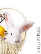 Купить «Белый кролик в пасхальной корзинке», фото № 3815258, снято 8 мая 2012 г. (c) Оксана Ковач / Фотобанк Лори