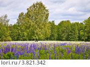 Купить «Поле цветущего люпина», фото № 3821342, снято 5 июня 2012 г. (c) Ольга Денисова / Фотобанк Лори