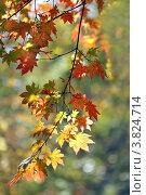 Пестрые осенние кленовые листья. Стоковое фото, фотограф Виниченко Ирина Николаевна / Фотобанк Лори