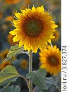 Купить «Яркий желтый подсолнух цветет летом. (Малая глубина резкости)», фото № 3827374, снято 18 сентября 2009 г. (c) Ольга Липунова / Фотобанк Лори