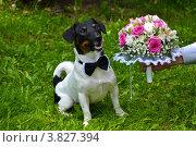 Собака породы Джек Рассел Терьер, рядом со свадебным букетом. Стоковое фото, фотограф Евгений Егоров / Фотобанк Лори