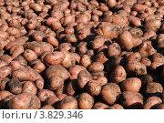Урожай картофеля. Стоковое фото, фотограф Олег Брагин / Фотобанк Лори