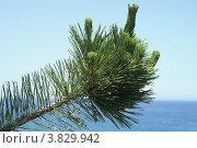 Купить «Сосна густоцветковая ( Pinus densiflora ). Ветка над морем. (Южная Корея, остров Улындо, Японское море.).», эксклюзивное фото № 3829942, снято 26 июня 2008 г. (c) Ольга Липунова / Фотобанк Лори