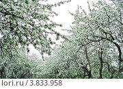 Кроны яблонь в яблоневом саду, усыпанные цветами. Май. Стоковое фото, фотограф Людмила Герасимова / Фотобанк Лори
