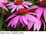 Купить «Эхинацея крупным планом», фото № 3835314, снято 16 сентября 2007 г. (c) Алексей Ухов / Фотобанк Лори