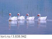 Купить «Стадо гусей», фото № 3838942, снято 15 июля 2012 г. (c) Хайрятдинов Ринат / Фотобанк Лори