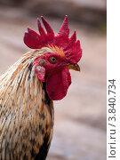 Купить «Голова петуха крупным планом», фото № 3840734, снято 31 марта 2012 г. (c) Ростислав Агеев / Фотобанк Лори