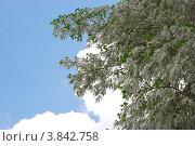 Ветви тополя с пухом на фоне неба. Стоковое фото, фотограф Анна Омельченко / Фотобанк Лори