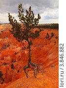 Одинокая сосна на краю обрыва цепляется корнями за землю (2010 год). Стоковое фото, фотограф Вероника Горбова / Фотобанк Лори